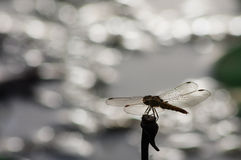 Golden dragonfly with bright bokeh background. Golden dragonfly in silhouette with bright bokeh in the background royalty free stock images