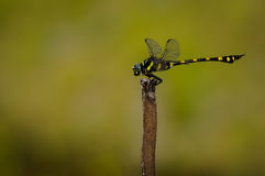 Golden dragonfly on a dead tree Stock Images