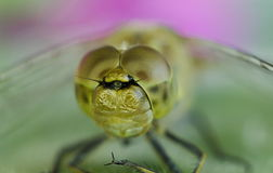 Golden Dragonfly stock photos