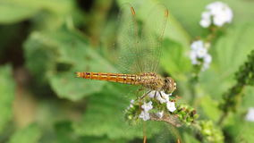 Golden dragonfly Royalty Free Stock Photo