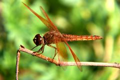 Golden dragonfly (Flame Skimmer) Royalty Free Stock Image