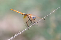 Golden dragonfly II royalty free stock image