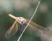 Golden dragonfly III royalty free stock photos