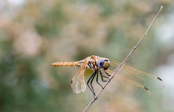 Golden dragonfly IV Stock Image