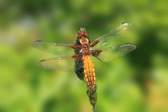 Golden dragonfly, resting on a grass Royalty Free Stock Photos