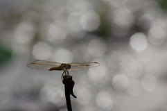 Golden dragonfly in silhouette with bright bokeh in the background. Golden dragonfly on tree top in silhouette with bright bokeh in the background stock photography