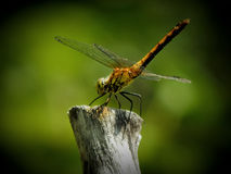 Golden dragonfly sitting on a branch Royalty Free Stock Images