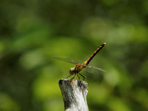 Golden dragonfly sitting on a branch Stock Images