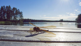 Golden dragonfly sitting on a jetty, lake in background. Royalty Free Stock Images