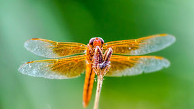 Golden Dragonfly. This was shot at Papago lakes in Phoenix, AZ Stock Photography