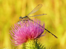 Golden dragonfly. Young Dragonfly in early morning golden light on a pink flower Stock Image