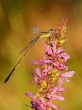 Golden dragonfly. Young dragonfly on pink flower in the early morning golden light Royalty Free Stock Photography