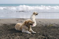 Golden dream dogs Stock Images