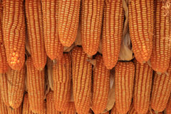 Golden dried corns hanging in rows for background Stock Photos