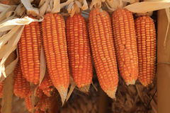 Golden dried corns hanging in rows for background Stock Images