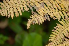 Golden dried ferns in late august contrast against green of garden. On afternoon day royalty free stock photography