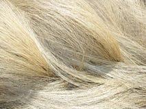 Golden dried grass. Dried golden grass in late winter stock photo