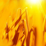 Golden dry grass background Royalty Free Stock Photos