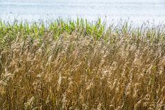 Golden dry grasses beside a river in summer Stock Images