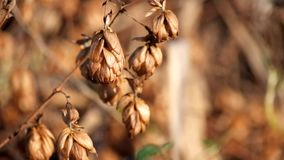 Golden dry hop cones trembling in the wind. Humulus lupulus stock video