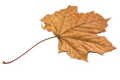 Golden Dry Leaf. Isolated over a white background Stock Photo