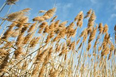 Golden dry straw plants called poaceae poales being moved by the wind on a blue sky as background stock images