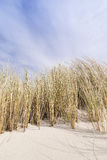 Golden Dune grass on the Baltic Sea Stock Photos