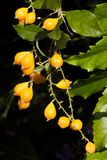 Golden Duranta Erecta Berries Royalty Free Stock Photography