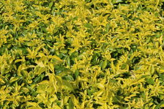 Golden duranta Stock Photography