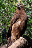 Golden Eagle. A Golden Eagle perched on a log Stock Image