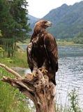 Golden eagle. (Aquila chrysaetos). Altai Stock Photo