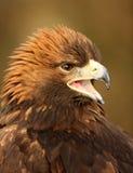 Golden Eagle. Portrait of a Golden Eagle Royalty Free Stock Image