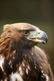 Golden Eagle. Portrait of a young Golden Eagle Royalty Free Stock Image