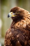 Golden eagle. A perched Golden eagle watches it's prey Royalty Free Stock Photo