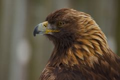 Golden eagle. A perched Golden eagle watches it's prey Stock Images