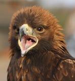Golden Eagle. Close up of a female Golden Eagle calling Stock Photos