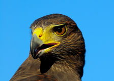 Golden Eagle. Portrait of Golden Eagle with blue sky background Stock Photos