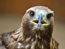 Golden Eagle. Portrait of the golden eagle with open beak Stock Photo