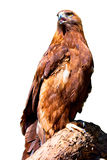 Golden Eagle. A Golden Eagle perched on a log isolated over-white Stock Photos