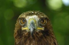Golden Eagle. Portrait of an adult Golden Eagle (Aquila chrysaetos Stock Photography