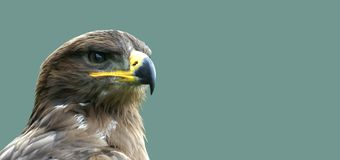 Golden eagle. Proud looking golden eagle in left corner in front of a wide background Stock Images