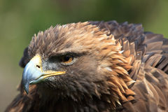 Golden eagle. Ready to attack Stock Photo