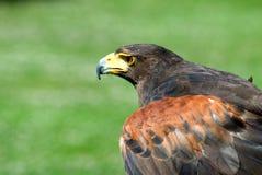 Golden Eagle Royalty Free Stock Image