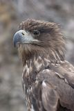 Golden eagle. Portrait with small depth of field royalty free stock photos