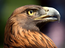 Golden Eagle. Profile royalty free stock photo