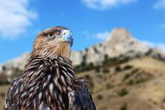 Golden eagle. Head over mountains Royalty Free Stock Photo