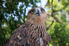 Golden eagle. Crying golden eagle over trees Royalty Free Stock Image