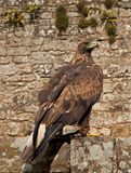 Golden Eagle. The Golden Eagle (Aquila chrysaetos) is one of the best known birds of prey in the Northern Hemisphere. Like all eagles, it belongs to the family stock photography