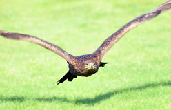 Golden eagle. A golden eagle in flight Royalty Free Stock Photo