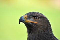 Golden eagle. A portrait of golden eagle Stock Image